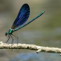 Caloptéryx sur une branche au bord de l'eau, <em>Calopteryx virgo</em>