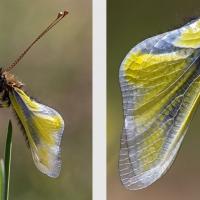 Les ailes fraîches de l'Ascalaphe soufré tout juste sorti de la nymphe, <em>Libelloides coccajus</em>