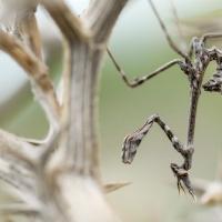 Diablotin femelle, jeune Empuse pennée dans la garrigue, <em>Empusa pennata</em>
