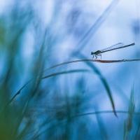 Demoiselle, Agrion au bord de l'eau