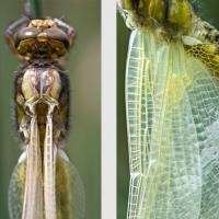 Libellule à peine sortie de son exuvie séchant ses ailes avant son premier envol
