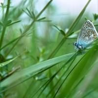Mâle d'Argus bleu, petit papillon discret parmi les herbes, <em>Polyommatus icarus</em>
