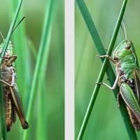 Criquet tournant autour d'une herbe pour échapper au regard du photographe, <em>Chorthippus albomarginatus</em>
