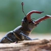 Lucane cerf-volant posé sur un arbre mort, <em>Lucanus cervus</em>