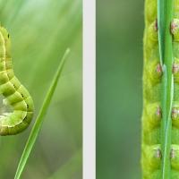 Chenille verte le long d'une tige, bien accrochée par ses fausses pattes