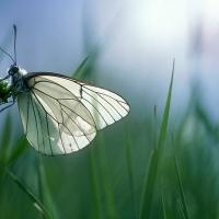 Papillon Gazé dans l'herbe, <em>Aporia crataegi</em>