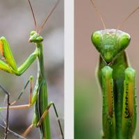 La Mante religieuse et ses pattes antérieures, fort justement qualifiées de ravisseuses, <em>Mantis religiosa</em>