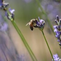 Abeille plongée dans une fleur de lavande à la recherche du nectar, <em>Apis mellifera</em>
