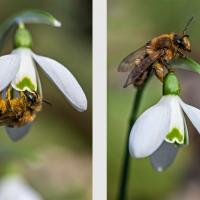 Abeille butinant des fleurs de Perce-neige, précieuse source d'alimentation en période hivernale