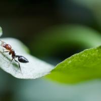Fourmi sur une feuille transportant une patte d'insecte…