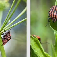 Punaise Arlequin au jardin, sauf invasion, cette punaise ne cause pas de grands dégâts, <em>Graphosoma italicum</em>