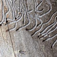 Galeries creusées par les larves du Scolyte sous l'écorce d'un arbre