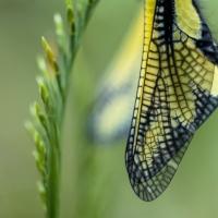 Détail sur les nervures des ailes de l'Ascalaphe soufré, <em>Libelloides coccajus</em>
