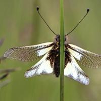 Ascalaphe soufré accroché à une herbe pour profiter de la chaleur du soleil, <em>Libelloides coccajus</em>
