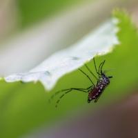 Moustique Tigre femelle à l'abdomen rempli de sang, identifiable par ses rayures noires et blanches, <em>Aedes Albopictus</em>