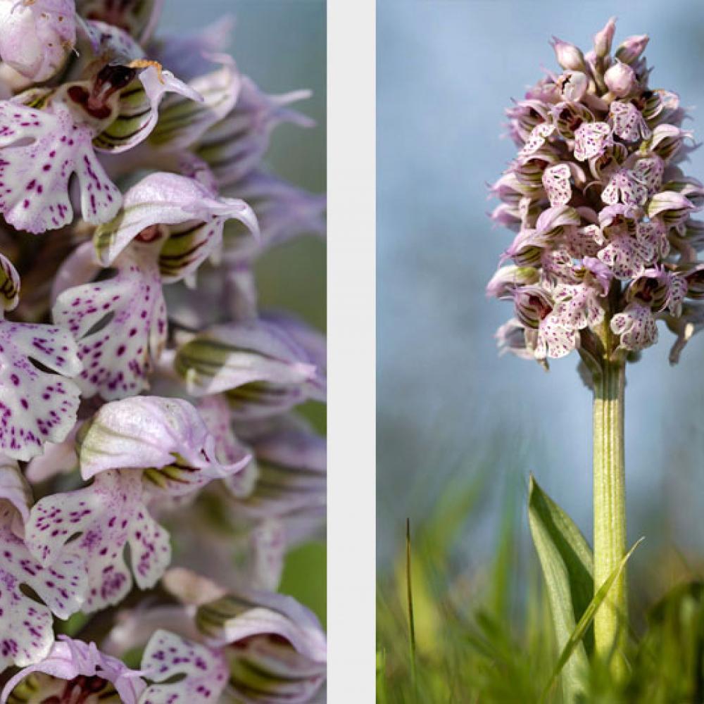 Orchis lacté, <em>Neotinea lactea</em>