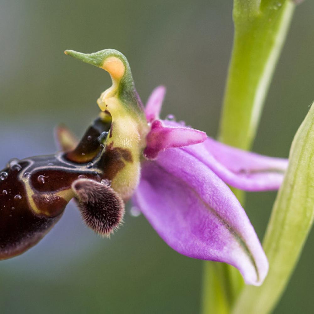 Ophrys bécasse, <em>Ophrys scolopax</em>