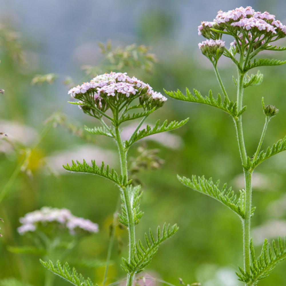 Achillée à feuilles de tanaisie, <em>Achillea distans</em> subsp. <em>tanacetifolia</em>