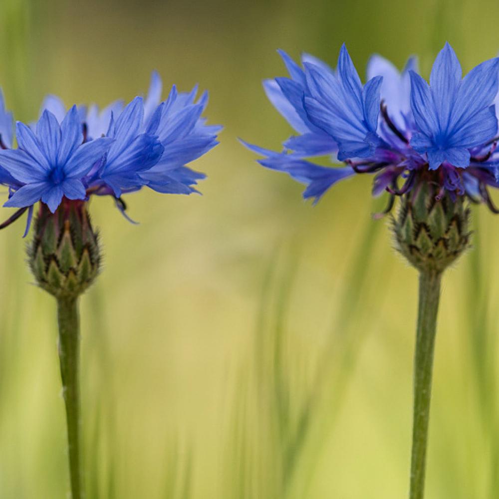 Bleuet des champs, <em>Centaurea cyanus</em>