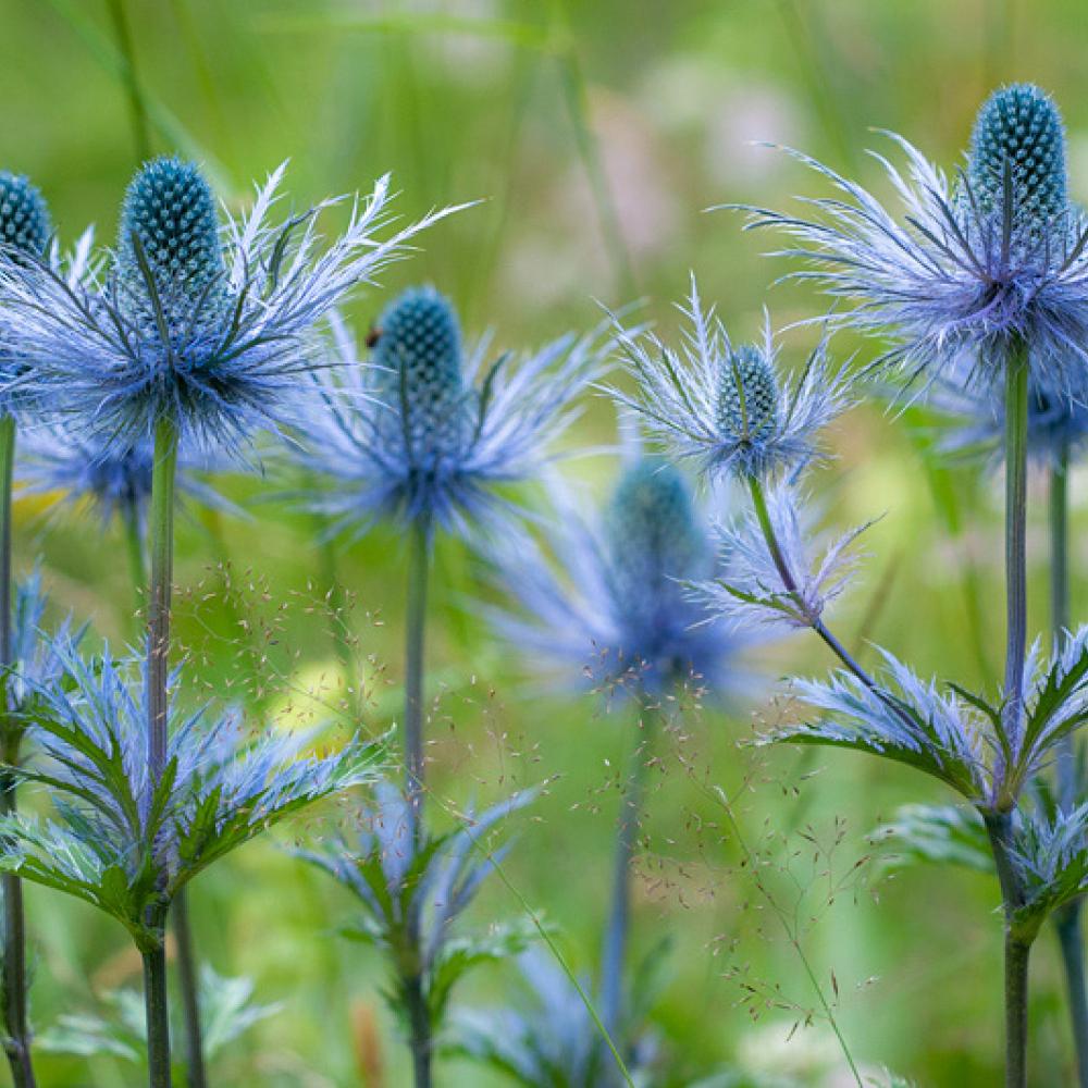Chardon bleu des Alpes, <em>Eryngium alpinum</em>