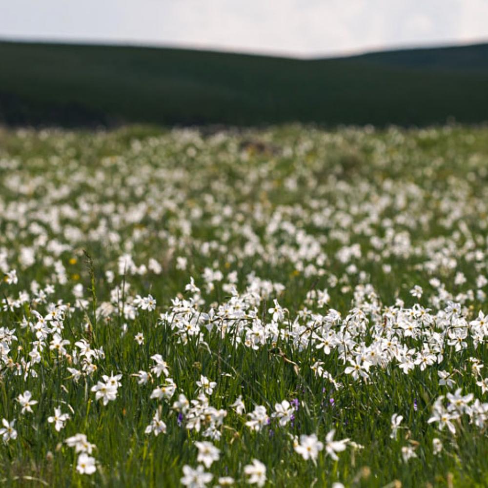 Prairie de Narcisse des poètes, <em>Narcissus poeticus</em>