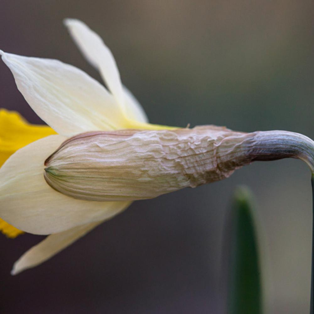 Narcisse des bois, Jonquille, <em>Narcissus pseudo-narcissus</em>