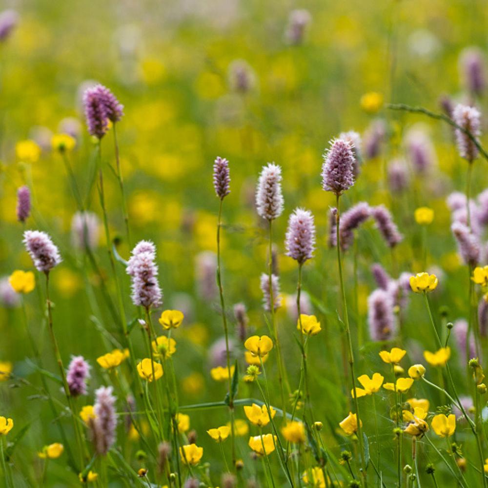 Renouée bistorte et Renoncule acre, <em>Polygonum bistorta - Ranunculus acris</em>