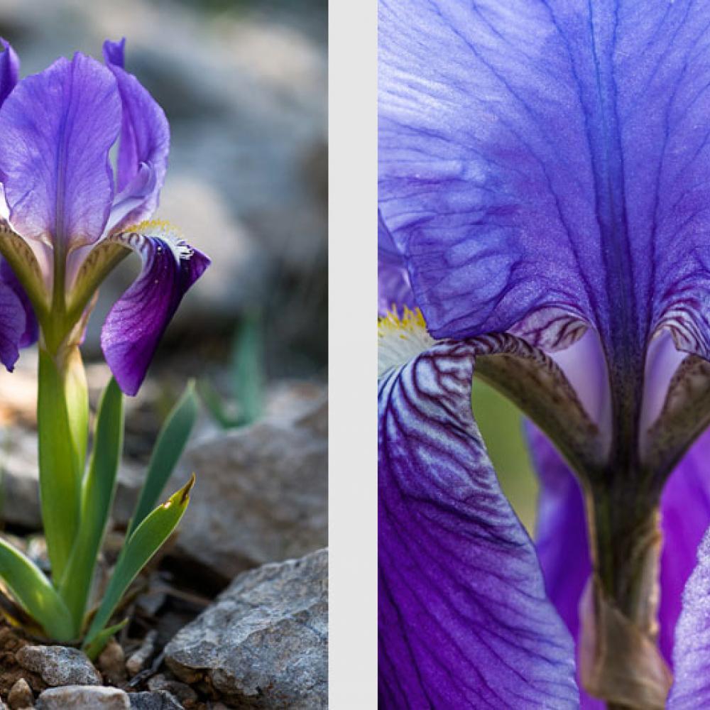 Iris nain, <em>Iris lutescens</em> et Iris d'Allemagne, <em>Iris germanica</em>