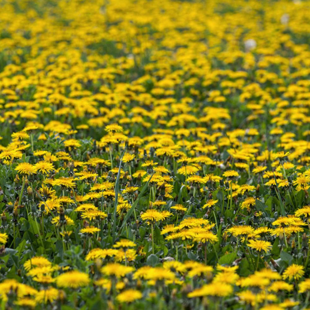 Prairie de pissenlits, <em>Taraxacum</em> sp.