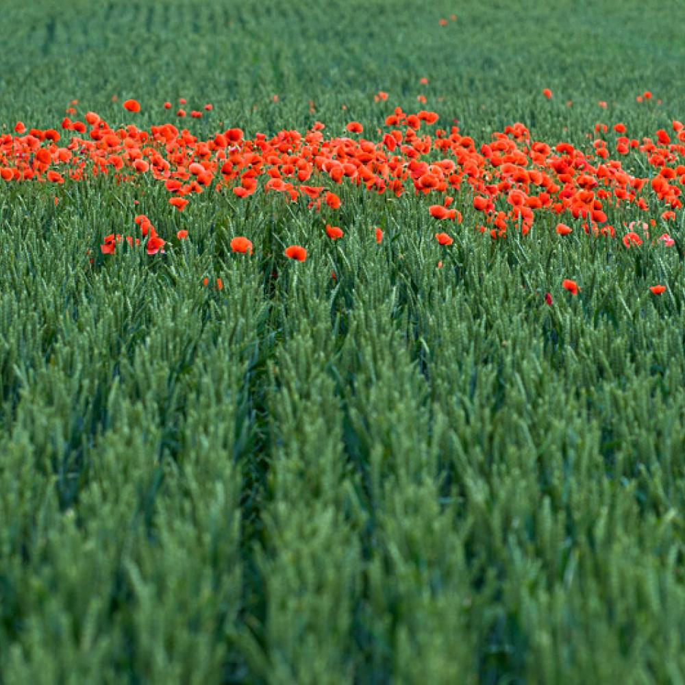 Coquelicots dans un champ de blé vert, <em>Papaver rhoeas</em>