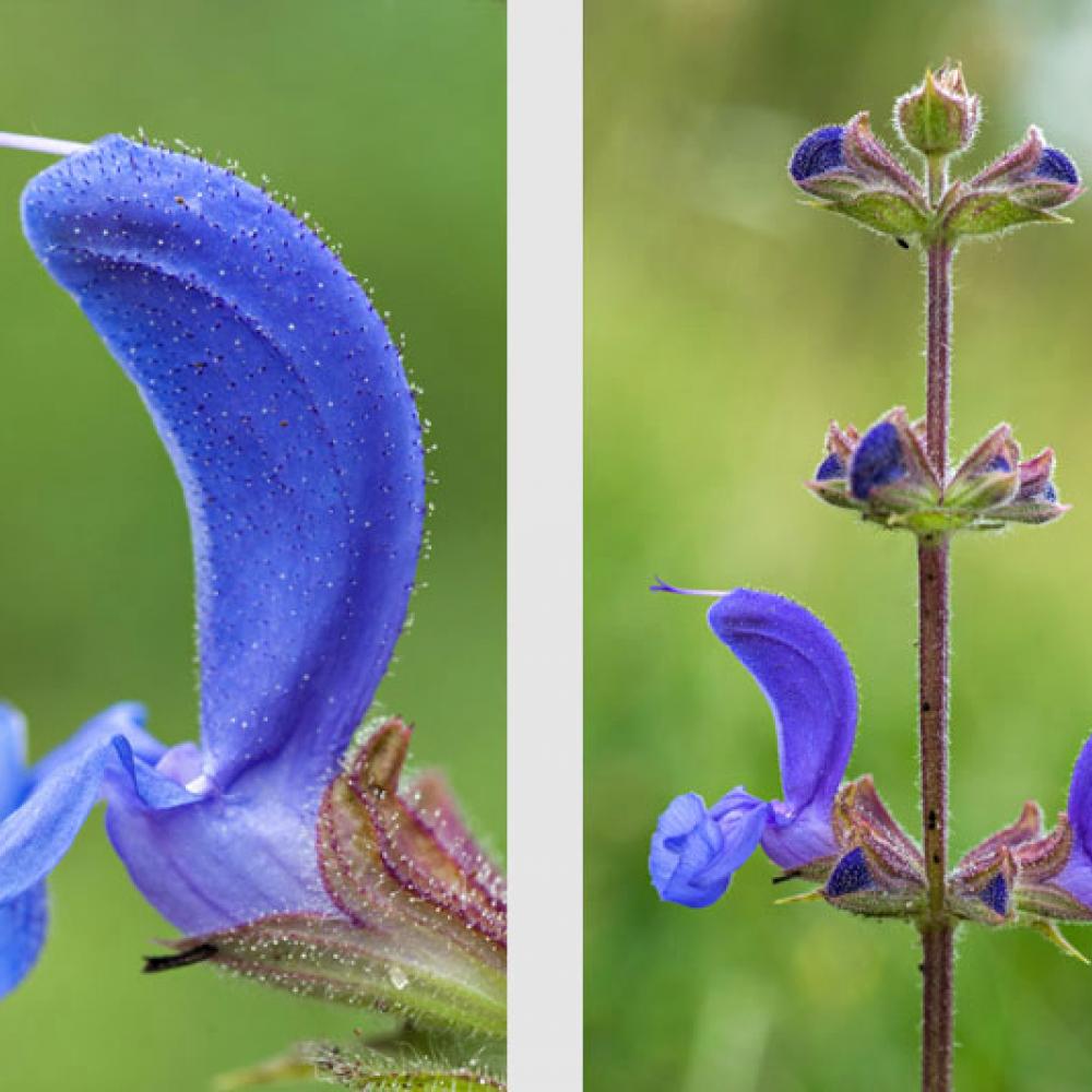 Sauge des prés, Sauge commune, <em>Salvia pratensis</em>