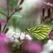 Papillon piéride du navet sur fleurs jardin