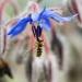Syrphe butinant une fleur de Bourrache, <em>Sphaerophoria scripta</em>