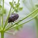 Graphosome rayé dans une ombelle de persil, <em>Graphosoma lineatum</em>, sauf invasion cette punaise ne cause pas de dégâts
