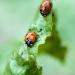 Coccinelle à sept points, <em>Coccinella septempunctata</em>, auxilliaire du jardinier, larves et adultes dévorent les pucerons