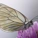Papillon Gazé sur ail rose, <em>Aporia crataegi</em>. Comme les abeilles, en voguant de fleurs en fleurs ils participent à la pollinisation