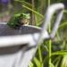 Rainette sur une bassine en zinc au jardin, <em>Hyla arborea</em>