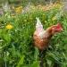 En prenant quelques précautions, des poules dévoreront limaces et nuisibles en tout genre au jardin