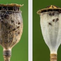 Capsules de Coquelicot, sèches et ouvertes, libérant les graines, <em>Papaver rhoeas</em>