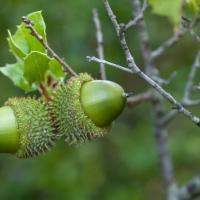 Glands de  Chêne kermès, <em>Quercus coccifera</em>