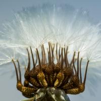 Infrutescence d'Urosperme faux-picris, <em>Urospermum picroides</em>