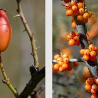 Cynorrhodon, fruit de l'Églantier, <em>Rosa Canina</em> et baies d'Argousier, <em>Hippophae rhamnoides</em>