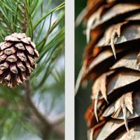 Cônes de Pin sylvestre, <em>Pinus sylvestris</em> et de Sapin de Douglas, <em>Pseudotsuga menziesii</em>
