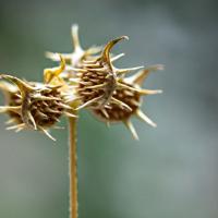 Akènes de Renoncule des champs, <em>Ranunculus arvensis</em>