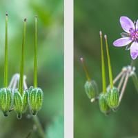 Fleur et fructifications d'un Erodium, le Bec-de-grue musqué, <em>Erodium moscatum</em>